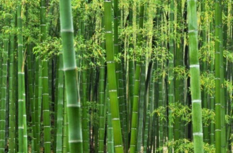 Cây tre rất dễ trồng và có được trồng rất nhiều ở Việt Nam